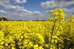 Yellow canola field with clouds in sky Royalty Free Stock Photos
