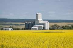 Yellow Canola Field with Grain Elevator in Distance Royalty Free Stock Images