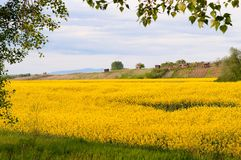 Yellow canola field in spring Royalty Free Stock Photography