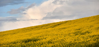 Yellow canola field Stock Images