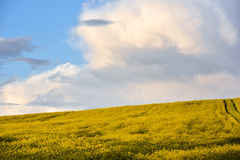 Yellow canola field Royalty Free Stock Image