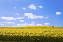 Yellow canola field in the sun with blue sky and clouds Stock Images