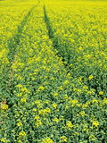 Yellow Canola Field Tracks Royalty Free Stock Photo