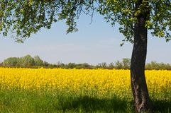 Yellow canola field with tree in right side of the image Royalty Free Stock Images
