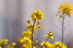 Yellow canola field under blue sky summer day stock photography