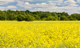 Yellow canola field Royalty Free Stock Photography