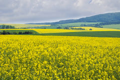 Yellow canola fields stock photos