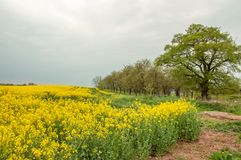 Yellow Canola fields and a cloudy sky. Stock Photo