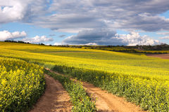 Yellow canola fields and ground road overlooking a valley, rural Royalty Free Stock Images