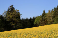 Yellow Canola Fields grow Alternative Energy. Austrian canola fields blooming in bright yellow Royalty Free Stock Photos