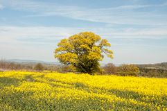 Yellow Canola fields and an old oak tree. royalty free stock photo
