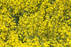 Yellow Canola Flower Royalty Free Stock Photography