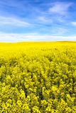 Yellow Canola Flower Stock Photo