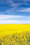 Yellow Canola Flower Royalty Free Stock Photos