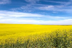 Yellow Canola Flower Royalty Free Stock Image