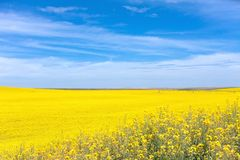 Yellow Canola Flower Stock Photos