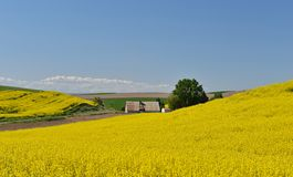 Yellow Canola Flower and farmhouse  in Palouse Royalty Free Stock Image
