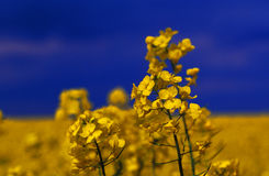 Yellow canola flowers Stock Images