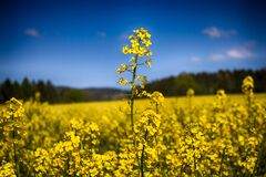 Yellow canola flowers