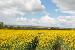 Yellow Canola flowers in the English summertime. A colorful display of beautiful yellow canola flowers and crops in an English countryside field Stock Image