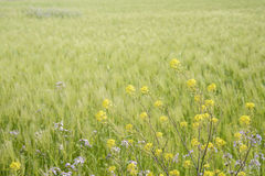 Yellow canola flowers Royalty Free Stock Image