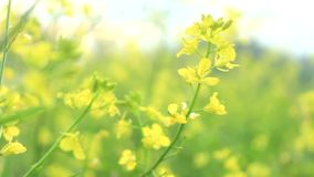 Canola in the wind. Yellow canola flowers sway struck by wind stock footage
