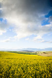 Yellow canola flowers in a valley Royalty Free Stock Image