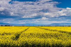 Yellow Canola Rapeseed Fields in Bloom Royalty Free Stock Images