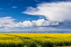 Yellow Canola Rapeseed Fields in Bloom Stock Photography