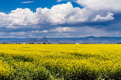 Yellow Canola Rapeseed Fields in Bloom Stock Photos