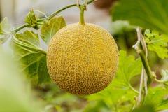 Yellow Cantaloupe melon growing in a greenhouse. Yellow Cantaloupe melon growing in a greenhouse Stock Photos