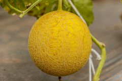 Yellow Cantaloupe melon growing in a greenhouse. Yellow Cantaloupe melon growing in a greenhouse Royalty Free Stock Images