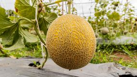Yellow Cantaloupe melon growing in a greenhouse. Yellow Cantaloupe melon growing in a greenhouse Royalty Free Stock Photo