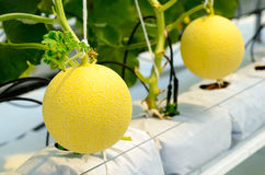 Yellow Cantaloupe melon growing in a greenhouse.  Royalty Free Stock Photos