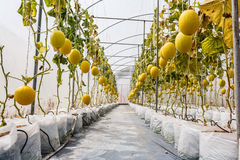 Yellow Cantaloupe melon growing in a greenhouse. Yellow Cantaloupe melon growing in a greenhouse Royalty Free Stock Photography
