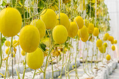 Yellow Cantaloupe melon growing in a greenhouse. Yellow Cantaloupe melon growing in a greenhouse Stock Photography