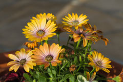 Yellow cape  daisy Stock Images