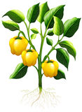 Yellow capsicum on thebranch Royalty Free Stock Photo
