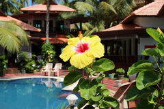 Yellow carcade flower on the tropical view background stock images