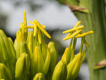 Yellow Caribbean Agave Flowers Stock Images