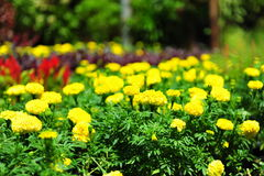 Yellow carnation Royalty Free Stock Photos