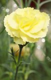 Yellow carnation Stock Image
