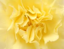 Yellow carnation Stock Photos