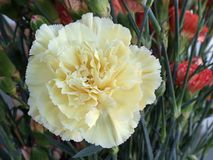 Yellow Carnation Flower. A delicate yellow carnatioon flower in amongst a bouquet of red carnations Royalty Free Stock Images