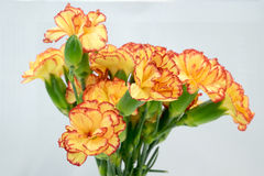 Yellow Carnation Stock Photography
