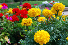 Yellow carnations. Beautiful yellow carnations in the garden Stock Photography