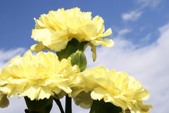 Yellow carnations stock photo