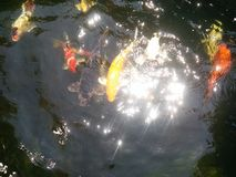 Yellow carp Royalty Free Stock Photography