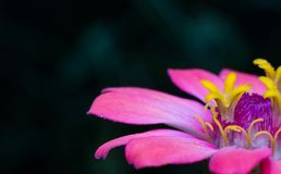 Yellow carpel. In pink flowers Royalty Free Stock Photography