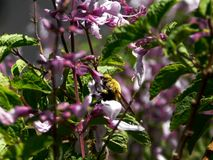 Yellow Carpenter bee. A close up view of a yellow Carpenter bee in purple Sage bush flowers stock image